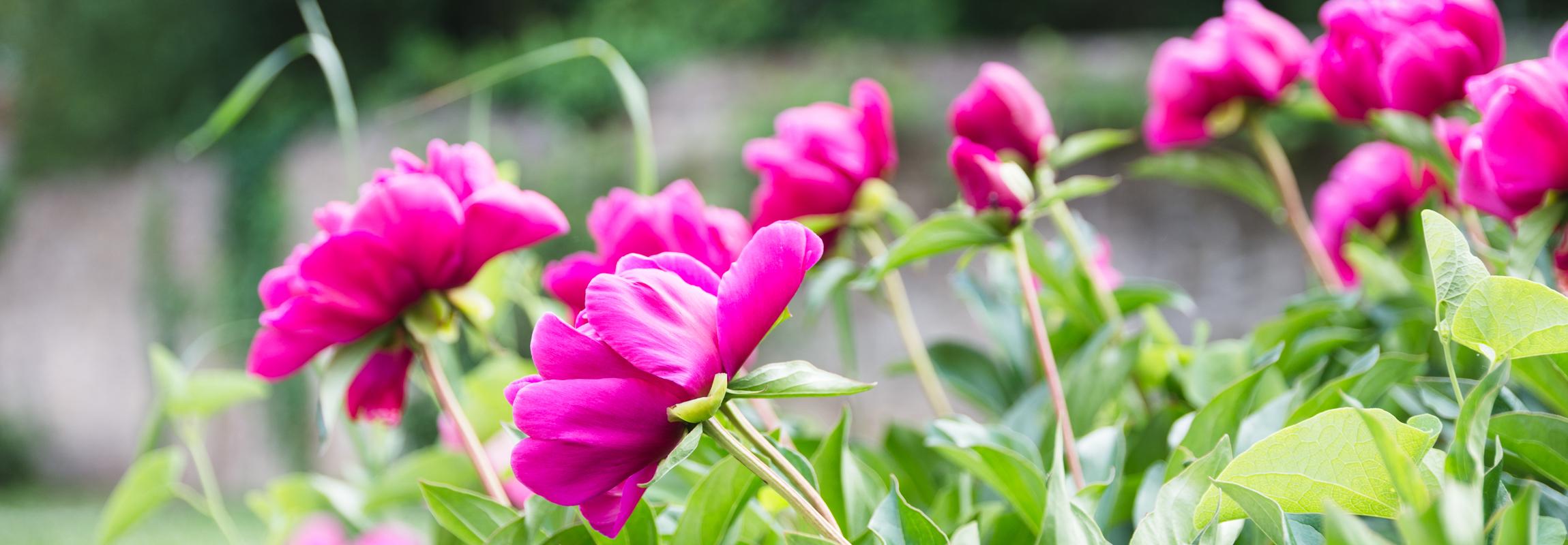 Le jardin olfactif de l'Hôtel Château de Montcaud est situé dans le jardin des parfums au milieu du parc, directement à côté du Mas. Ici, aux portes de la Provence, dans le sud de la France, des cours de parfum seront bientôt proposés.